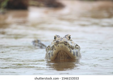 caiman in the pantanal, brazil.