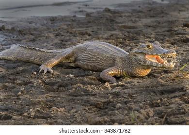 Caiman - Pantanal, Brazil
