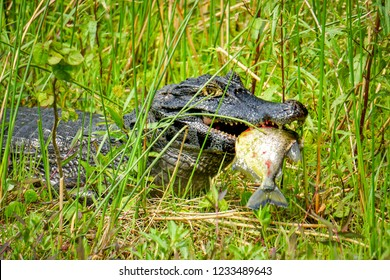 A caiman (Caiman yacare) eats a piranha in the Ibera Wetlands (Esteros del Ibera) near the village of Colonia Carlos Pellegrini in the Corrientes province of northern Argentina