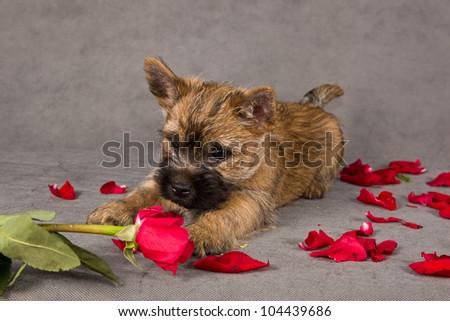 Cairn Terrier Dog Puppy Rose Petals Stockfoto Jetzt Bearbeiten