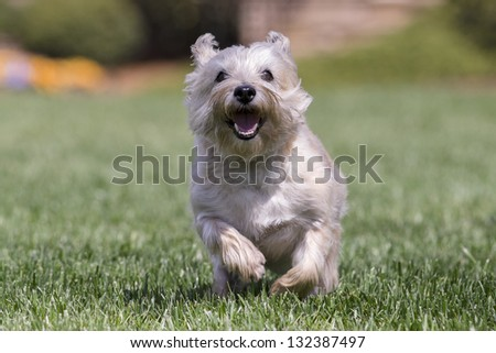 Cairn Terrier Dog Running Through Green Stockfoto Jetzt Bearbeiten