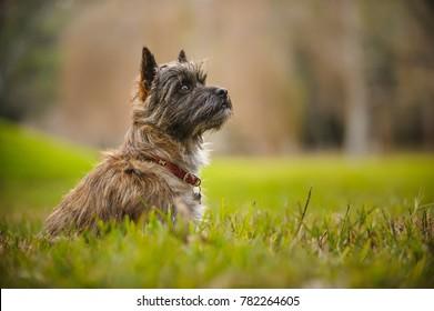 Cairn Terrier dog sitting in grass field