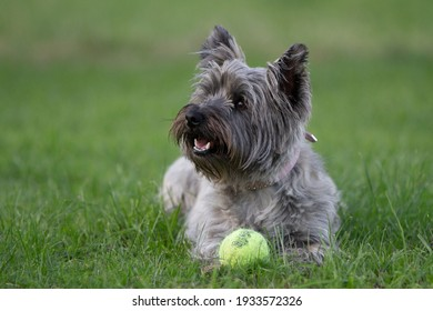 Cairn terrier with her ball
