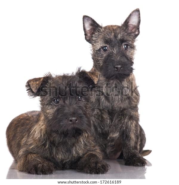 Cairn Terrier Puppies Stock Photo (Edit Now) 172616189