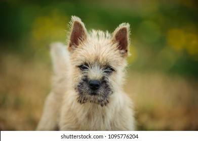 Cairn Terrier puppy dog outdoor portrait in field of spring flowers