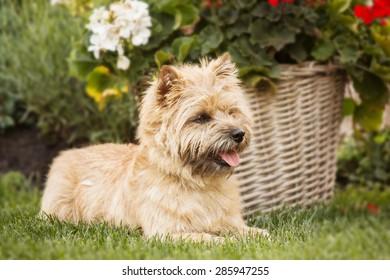 Cairn Terrier sitting near flowers