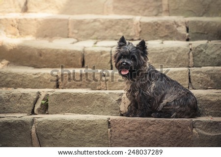 cairn terrier sitting old staircase szentendre stock photo edit now