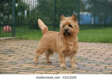 Cairn Terrier stacked