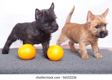 Most Inspiring Cairn Terrier Ball Adorable Dog - cairnterrier-puppies-260nw-56552236  HD_37682  .jpg