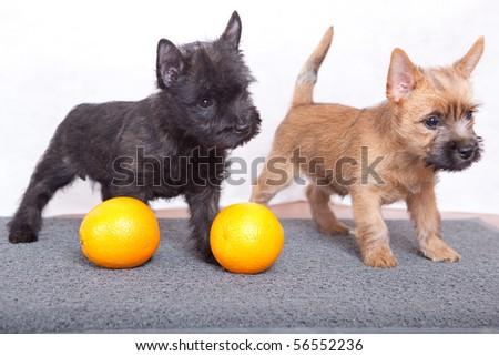 Cairnterrier Puppies Stock Photo (Edit Now) 56552236 - Shutterstock