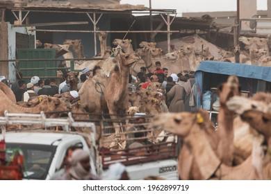 Cairo Egypt march 2021 Birqash market many Camel car