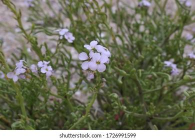 Cakile maritima, Sea Rockett. Wild plant photographed in the fall.