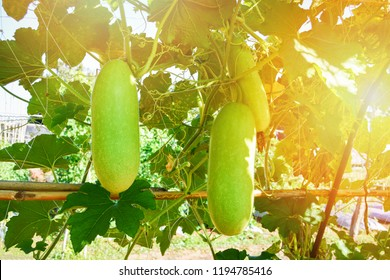 Calabash gourd or bottle gourd hanging on the vine plant tree / Lagenaria siceraria - Long winter melon