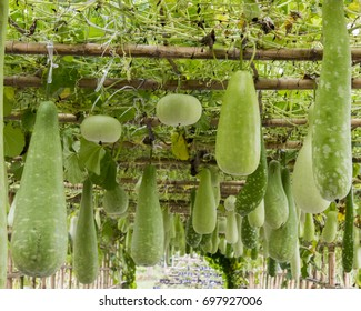 Calabash gourd tunnel in the garden. Calabash, Pumpkin and Cucumber hanging on bamboo in the farm.