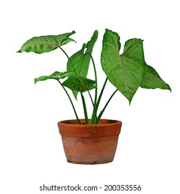 Caladium bicolor known as Angel Wings isolated on white BG.