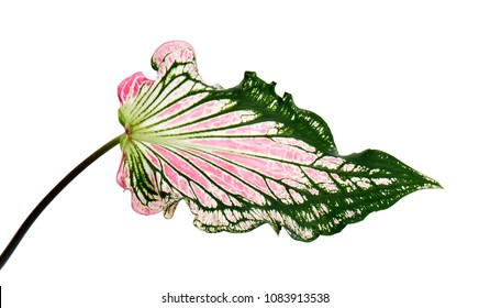 Caladium bicolor with pink leaf and green veins (Florida Sweetheart), Pink Caladium foliage isolated on white background, with clipping path