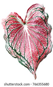 Caladium bicolor with pink leaf and green veins (Florida Sweetheart), Pink Caladium foliage isolated on white background,