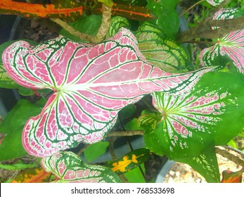 Caladium bicolor with pink leaf and green veins (Florida Sweetheart), Pink Caladium foliage isolated on nature background, with clipping path