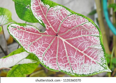 Caladium big leaf (Florida sweet heart) Green,white and pink with nature pattern of leaf.