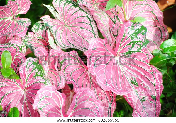 Caladium Colorful Pink Green Leaves Queen Nature Stock Image 602655965