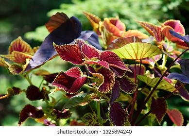 Deep Blue Purple Varieties Caladium Images Stock Photos Vectors