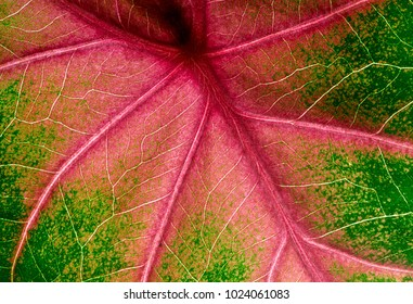 Caladium leaf (elephant ear) super macro closeup, showing details and red veins, abstract foliage background