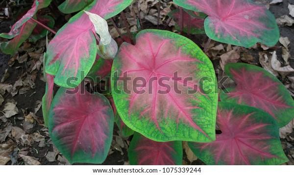 Caladium Plant Common Name Elephant Ear Stock Photo Edit Now