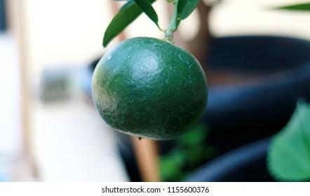 Calamansi or calamondin fruit on tree.