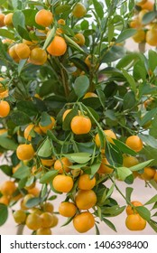 Calamansi, Citrus microcarpa, Citrofortunella mitis, Philippine lime. Citrus hybrid between kumquat and mandarin orange. Ornamental plant for gardens, pots, container gardens on terraces and patios