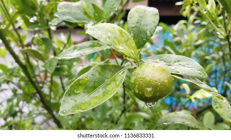 Calamansi Lime with water drop at tree