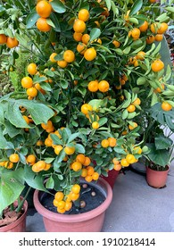 """Calamansi tree potted. Calamondin is an economically important citrus hybrid. A popular plant during Chinese New Year, they represent """"lucky tree bearing fruits"""" and are great for ushering in wealth."""