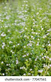 Calamintha nepeta, flowers