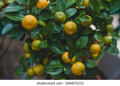 Calamondin or calamonding, calamondin orange, calamansi, calamandarin, golden lime, kalamunding, kalamansi, Philippine lime, Panama orange, Chinese, musk and acid orange.