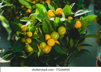 Calamondin is called by many names, including: calamonding, calamondin orange, calamansi, calamandarin, golden lime, kalamunding, kalamansi, Philippine lime, Panama orange, Chinese orange.