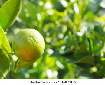 Calamondin or Citrus microcarpa also known as limau kasturi in local language