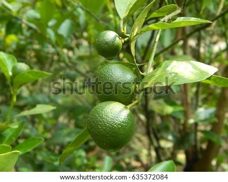 calamondin citrus microcarpa