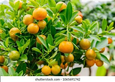 Calamondine foliage and fruits on dwarf  tree. Calamondin Citrus microcarpa or Citrofortunella microcarpa or  Citrofortunella mitis. Orange citrus fruits grow on a small citrus tree