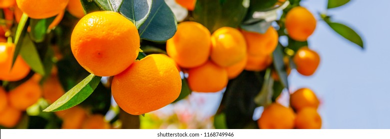 Calamondine fruits and foliage on dwarf  tree. Calamondin Citrus microcarpa, Citrofortunella microcarpa. Mandarin Orange citrus fruits grow on citrus tree. Ripe tangerines, close up
