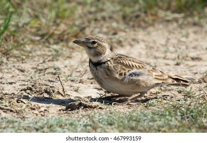Calandra lark (Melanocorypha calandra) on the meadow