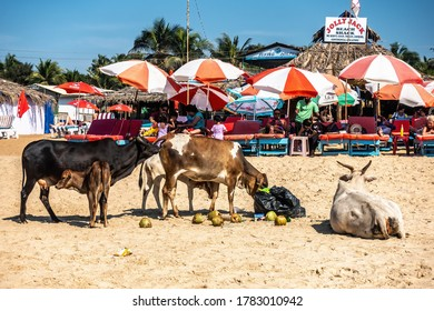 CALANGUTE, GOA, INDIA JANUARY 2, 2019: Group of cows and calf eat the food rests at garbage collecting point on the beach close to tourists sunning and resting in shadows. Cow a sacred animal in India