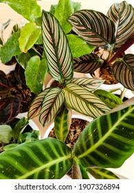 calathea dari kebun ky. plant - Shutterstock ID 1907326894