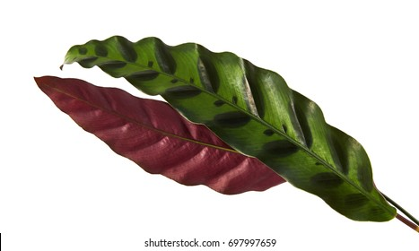 Calathea lancifolia or Calathea insignis foliage, (Green leaves with dark decorative spots and underside of the leaf is deep purple) Calathea leaf, isolated on white background with clipping path