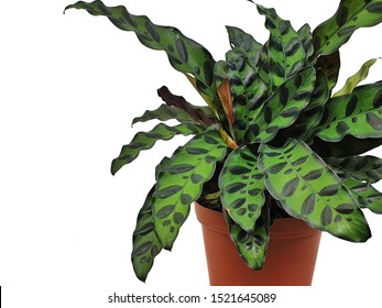 Calathea lancifolia isolated on white background with copy space. Rattlesnake plant leaves are striped with alternating ovals of dark green and by a purple. houseplant very best indoor ornamental.
