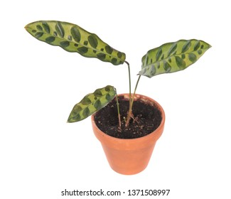 Calathea lancifolia or Rattlesnake Plant (syn. Calathea insignis) in flowerpot isolated on white background