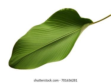 Calathea lutea foliage, (Cigar Calathea, Cuban Cigar), Exotic tropical leaf, Calathea leaf, isolated on white background with clipping path