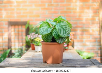 Calathea Orbifolia growth in clay pot for decorative on table in house and office. eautiful leaves ornamental in tropical plant.