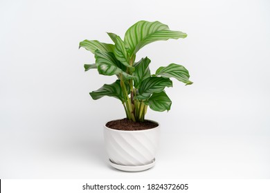 Calathea Orbifolia in white ceramic pot with isolated white background. Calathea orbifolia is a species of prayer plant native to Bolivia.