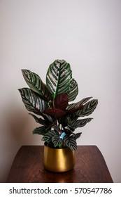 Calathea Ornata in a Golden Pot on a Wooden Table