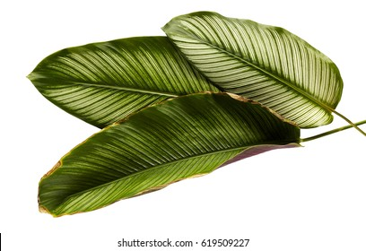 Calathea ornata (Pin-stripe Calathea), tropical foliage plant leaves isolated on white  background, with clipping path