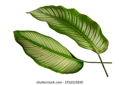 Calathea ornata tropical leaf isolated on white background.